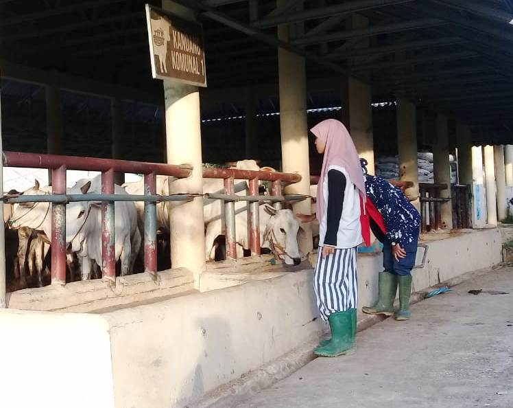 Siswa Hamas School sedang mengamati peternakan sapi SMK Mulia untuk belajar Agroentrepreneur. (Fariha/PWMU.CO)