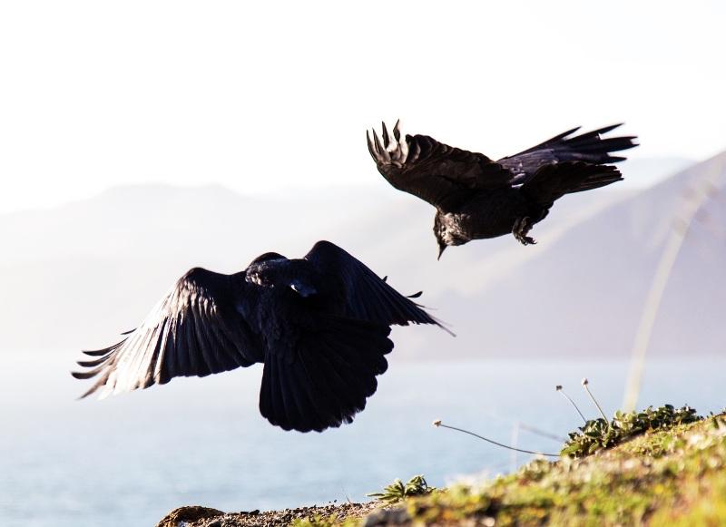 Dua burung gagak dalam kisah persembahan kurban Qabil dan Habil.