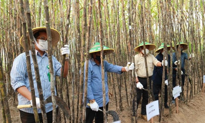 UMG panen perdana 7 klon unggul harapan tanaman tebu hasil persilangan yang mulai dikembangkan Prof Dr Ir Setyo Budi MS tahun 2014, Sabtu (8/8/20).